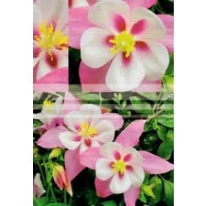 Wenskaart zonder tekst met mooie wit-roze bloemen.