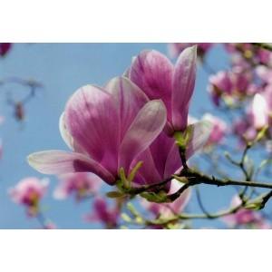 wenskaart blanco zonder tekst met de afbeelding van roze bloemen