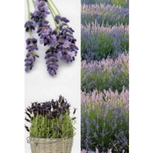 Wenskaart zonder tekst met afbeeldingen van lavendel