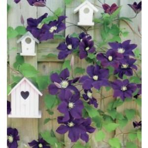 Wenskaart little square blanco met vogelhuisjes aan een schutting waaraan een paarse clematis groeit