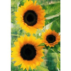 wenskaarten met foto van drie grote zonnebloemen