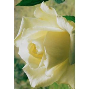 wenskaart met een detailfoto van een mooie witte bloem
