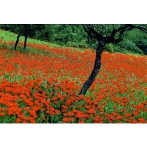wenskaart met een foto van een groot veld met klaprozen