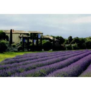 wenskaart met frans landschap met paarse bloemenvelden