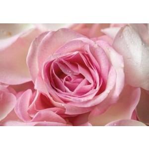 Wenskaart zonder tekst met een roze roos