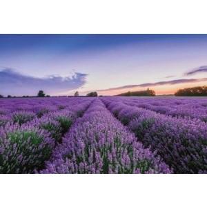 Wenskaart zonder tekst met velden van lavendel