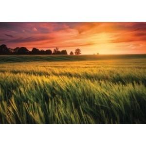 Wenskaart zonder tekst met de afbeelding van een granenveld bij zonsopgang